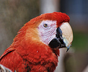 Red Feather Prints - Bird - Parrot - Red Macaw Print by Paul Ward