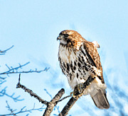 Concern Photo Prints - Bird - Red Tail Hawk - Endangered Animal Print by Paul Ward