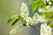 Green Foliage Prints - Bird Cherry (prunus Padus) Print by Duncan Shaw