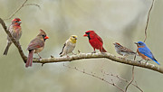 Male Northern Cardinal Posters - Bird Congregation Poster by Bonnie Barry