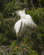 Wading Bird Photos - Bird Mating Display - Snowy Egret  by Bill Swindaman