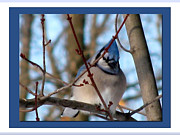 Blue Jay Picture Framed Prints - Bird Of Blue Framed Print by Debra     Vatalaro