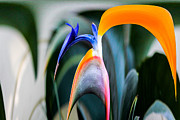 Russel Ray Prints - Bird of Paradise 2 Dripper Print by Russel Ray