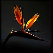 Sherry Fain - Bird of Paradise 3