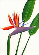 Strelitzia Painting Framed Prints - Bird of Paradise Framed Print by Andrea Lim