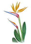 Watercolor Card Prints - Bird of Paradise Card Print by Irina Sztukowski