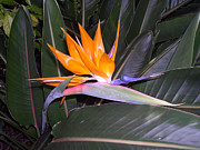 Bird Of Paradise Flower Digital Art - Bird of Paradise by Claude McCoy