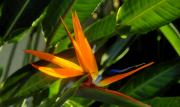 Blooming Digital Art - Bird of Paradise by David Lee Thompson
