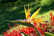 Diana Haronis - Bird of Paradise