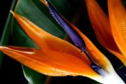 Diane Merkle - Bird of Paradise