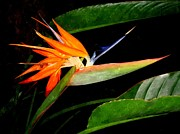 Elizabeth Fichtl - Bird of Paradise