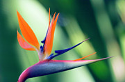 Reginae Framed Prints - Bird Of Paradise Flower Framed Print by Maria Mosolova