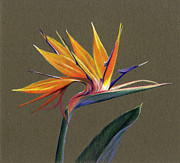 Bird Of Paradise Drawings - Bird of Paradise by Heather Mitchell