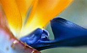 Floral Photographs Prints - Bird-of-Paradise Print by Heiko Koehrer-Wagner