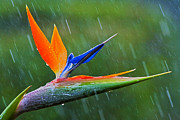 Strelitzia Art - Bird-of-Paradise in Rain by Heiko Koehrer-Wagner