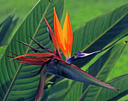 Bird Of Paradise Print by Larry Nieland