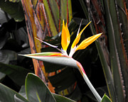 Yellow Bird Of Paradise Posters - Bird of Paradise Poster by Rebecca Margraf