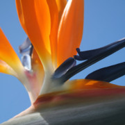 Photography Abstracts Prints - Bird of Paradise Print by Sharon Mau