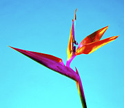 Reginae Framed Prints - Bird Of Paradise (strelitzia Reginae) Framed Print by Johnny Greig
