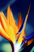 Reginae Framed Prints - Bird Of Paradise (strelitzia Reginae) Framed Print by Maria Mosolova