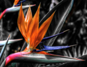 Strelitzia Art - Bird of Paradise by Wayne Sherriff