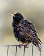 Starlings Metal Prints - Bird on a Wire Metal Print by Chris Lord
