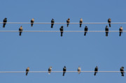 Avian Posters - Bird on a Wire Poster by Christine Till