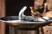 Drinking Metal Prints - Bird Spa Metal Print by Christine Till