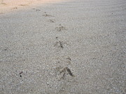 Bird Tracks Photos - Bird Tracks in the Sand by Marilyn Wilson