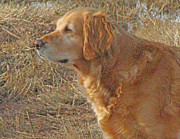 Golden Retriever Mixed Media - Bird Watching by Philip Rolfe
