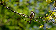 Flycatcher Metal Prints - Bird with worm Metal Print by Jeffrey Platt
