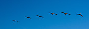 Up201209 Photos - Birdrock Pelicans In Formation by Josh Whalen
