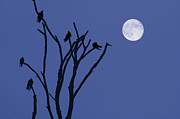 Starlings Digital Art Metal Prints - Birds and Full Moon Metal Print by Dave Gordon