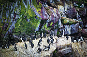 Razorbill Acrylic Prints - Birds at Cape St. Marys Bird Sanctuary in Newfoundland Acrylic Print by Elena Elisseeva