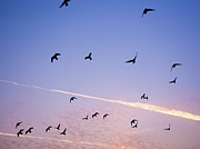 Flock Of Bird Art - Birds Flying At Sunset by Sarah Palmer