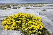 The Burren Prints - Birds Foot Trefoil (lotus Corniculatus) Print by Bob Gibbons
