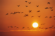 Featured Posters - Birds In Flight Against Sunset Sky Poster by Norbert Rosing