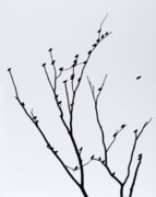 Bare Trees Prints - Birds in Tree Print by John Gilroy
