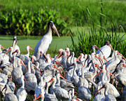 Ibis Photos - Birds of a Feather by Al Powell Photography USA