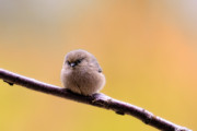 Passerines Framed Prints - Birds of BC - Bushtit - Psaltriparus minimus Framed Print by Paul W Sharpe Aka Wizard of Wonders