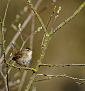 Bird Watcher Posters - Birds of BC - No. 17 - Marsh Wren - Cistophorus palustris Poster by Paul W Sharpe Aka Wizard of Wonders
