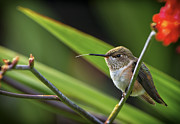 Hummingbird Originals - Birds of BC - No. 31 - Rufous Hummingbird - Selasphorus rufus by Paul W Sharpe Aka Wizard of Wonders