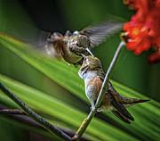 Birds Of Bc - No. 32 - Two Rufous Hummingbirds - Selasphorus Ruf Print by Paul W Sharpe Aka Wizard of Wonders