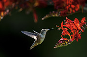 Bird Watcher Posters - Birds of BC - No. 33 - Rufous Hummingbird - Selasphorus rufus Poster by Paul W Sharpe Aka Wizard of Wonders