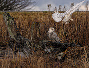 Grass Roots Prints - Birds of BC - No.14 - Snowy Owl Fly By Print by Paul W Sharpe Aka Wizard of Wonders