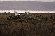 Tree Roots Photos - Birds of BC - No.15 - Snowy Owl - Bubo scandiacus by Paul W Sharpe Aka Wizard of Wonders