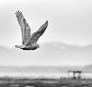 Birds Of Bc - No.16 - Snowy Owl - Bubo Scandiacus Print by Paul W Sharpe Aka Wizard of Wonders