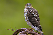 Coopers Photos - Birds of BC - No.19 - Coopers Hawk - Accipiter cooperii by Paul W Sharpe Aka Wizard of Wonders