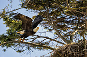 Yellow Beak Photos - Birds of BC - No.27 - Bald Eagle - Haliaeetus leucocephalus by Paul W Sharpe Aka Wizard of Wonders