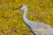 Bird Watcher Posters - Birds of BC - No. 35 - Young Sand Hill Crane Poster by Paul W Sharpe Aka Wizard of Wonders